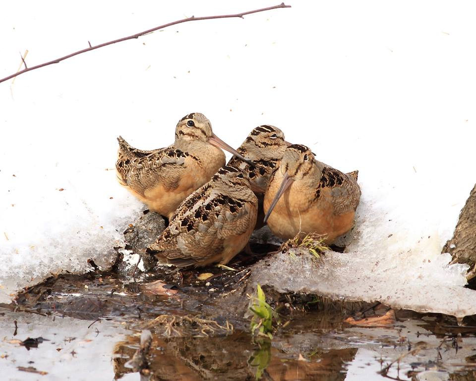 Woodcock huddle together in Central Park, New York City following March 2017 snowstorm. Food stressed woodcock are at increased risk of starvation and predation. Photo by Thomas Schuchaskie, from Facebook March 15, 2017.
