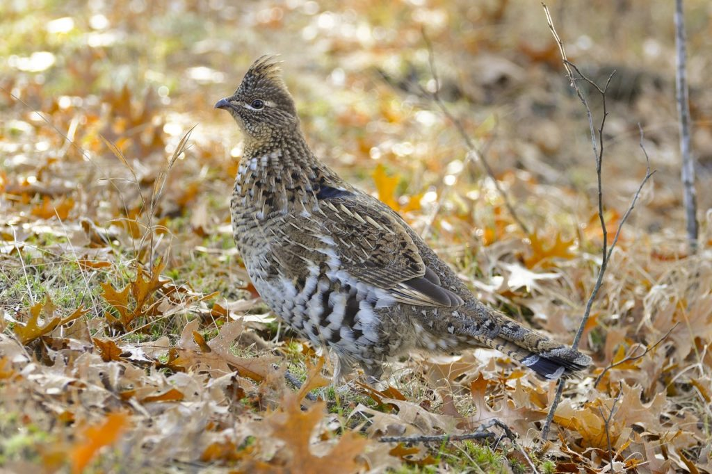Ruffed Grouse - Photo Credit:  Steve Oehlenschlager
