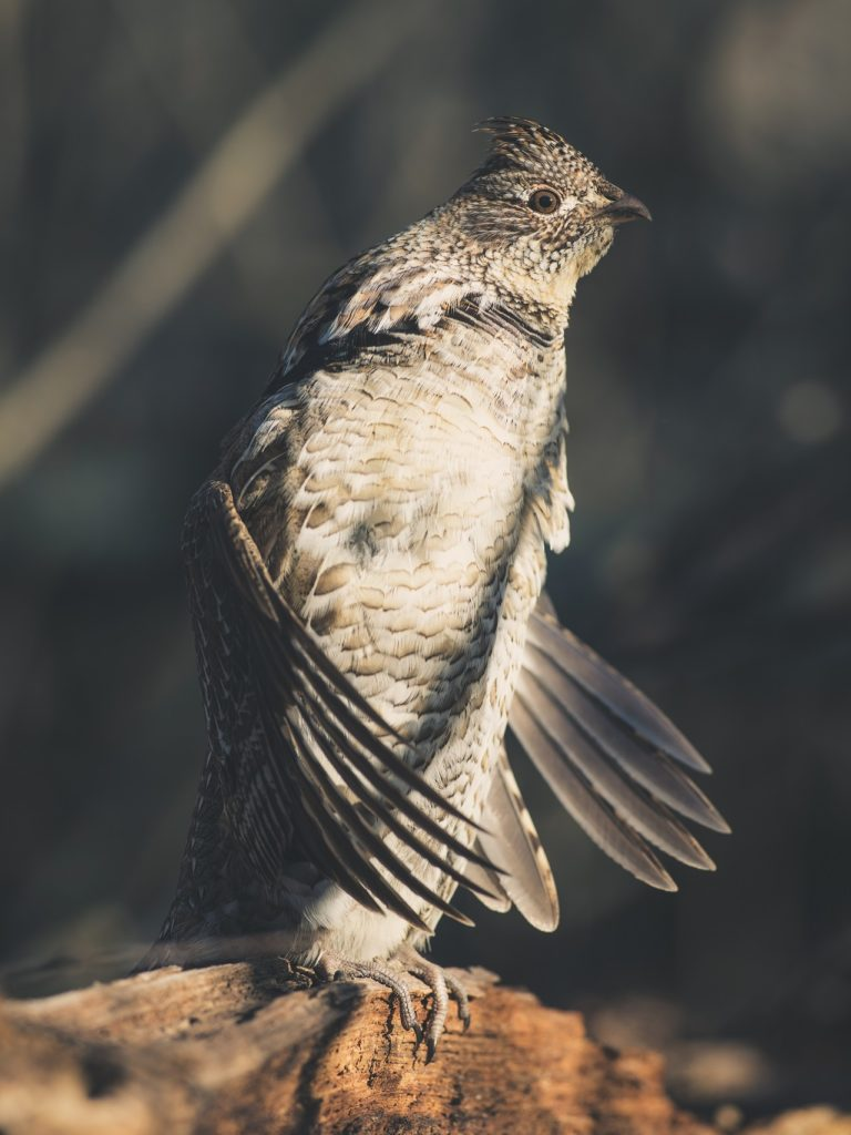 ruffed grouse drumming - Steve Oehlenschlager