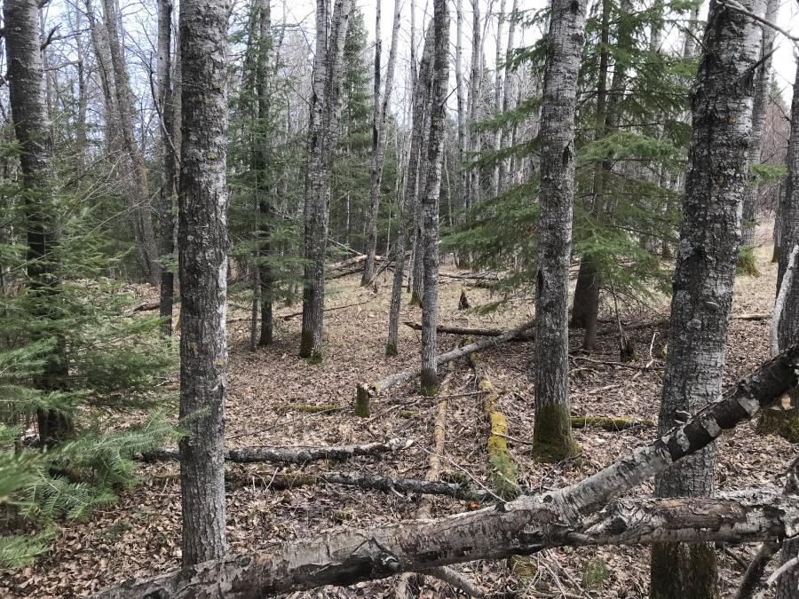 mature-aspen-forest