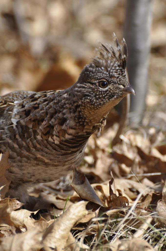 ruffed-grouse-endangered